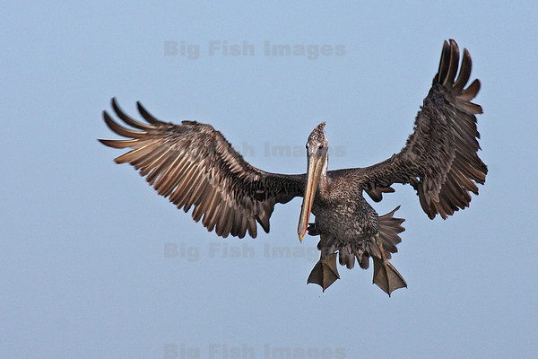 Astoria Pelicans