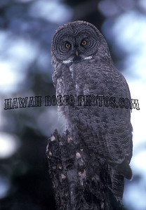 GREAT GREY OWL-8