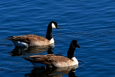 CANADA GEESE LAKE FAYETTEVILLE, ARKANSAS