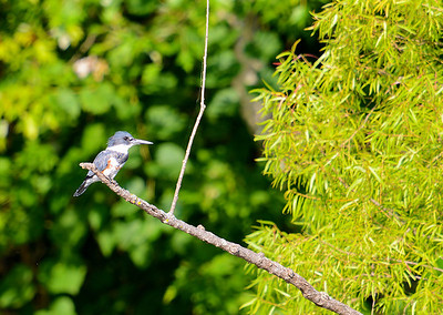 Belted Kingfisher (Magaceryle alcyon)