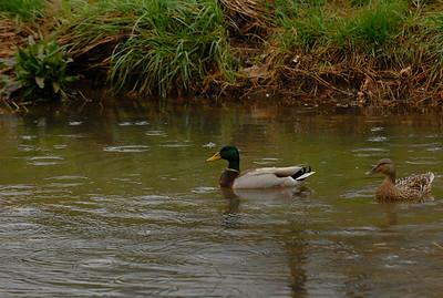 MALLARD PAIR Fayetteville, AR Wetlands
