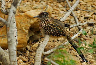ROADRUNNER (Geoccyx californianus)