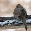 Dove on a split rail fence on a snowy morning.
