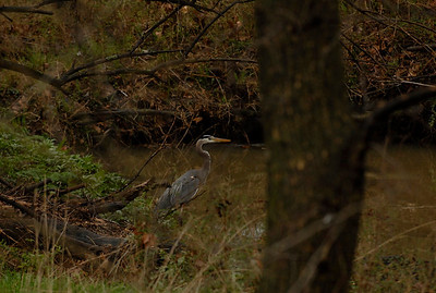 THE GREAT BLUE HERON Fayetteville, AR Wetlands
