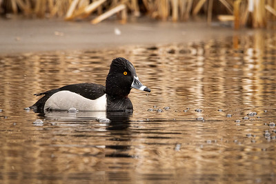 RING NECKED DUCK (MALE)