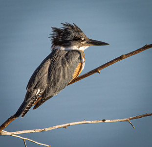 KINGFISHER (FEMALE)