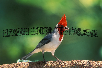 RED CRESTED CARDINAL-166