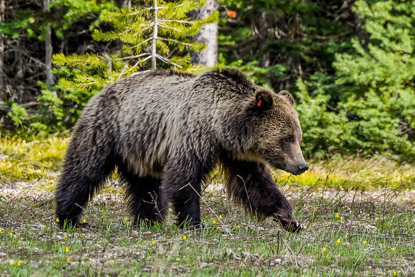 """Grizzzly #793 """"Blondie"""" in Grand Teton National Park (May 2018)"""