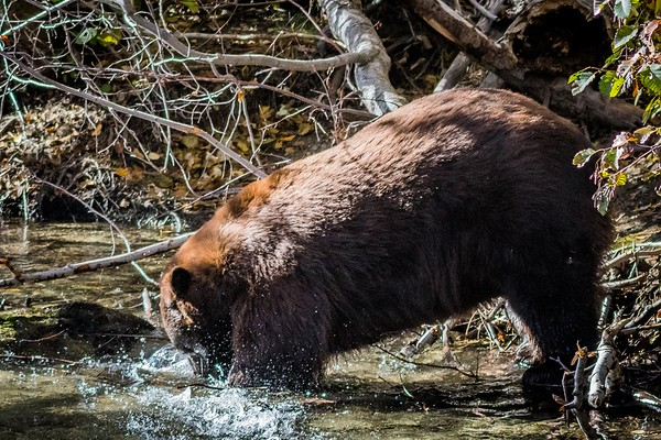Black Bear catching breakfast, Taylor Creek, Lake Tahoe, CA