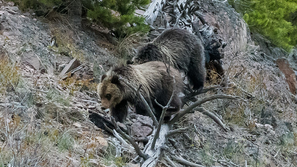 Undentified Grizzly cubs in Yellowstone National Park