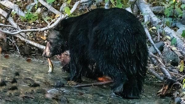 Black Bear with breakfast, Taylor Creek, Lake Tahoe, CA