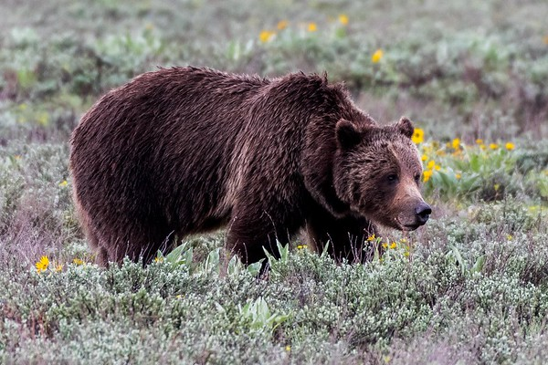 """The famous Grizzly """"399"""" in Grand Teton National Park (May 2018)"""