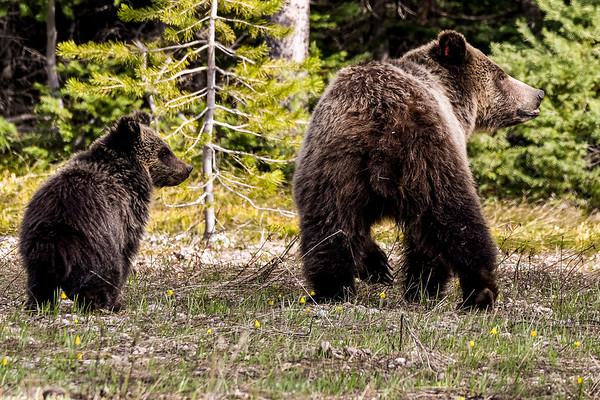 """Grizzzly #793 """"Blondie"""" and one of her yearling cubs in Grand Teton National Park (May 2018)"""
