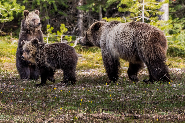 """Grizzzly #793 """"Blondie"""" and her two yearling cubs in Grand Teton National Park (May 2018)"""
