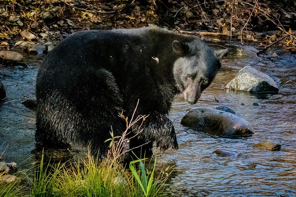Black Bear looking for breakfast, Taylor Creek, Lake Tahoe, CA