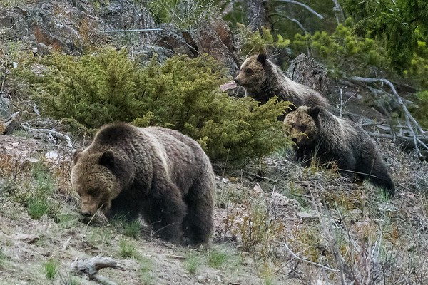 Undentified Sow and cubs in Yellowstone National Park