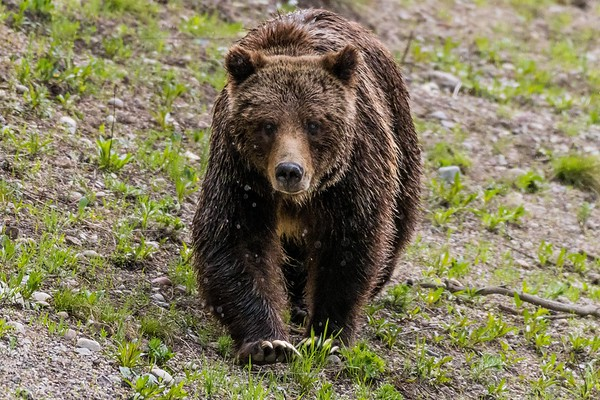 """The famous Grizzly """"399"""" in Grand Teton National Park (May 2018"""