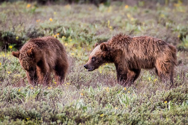 399's two yearling cubs (May 2018)