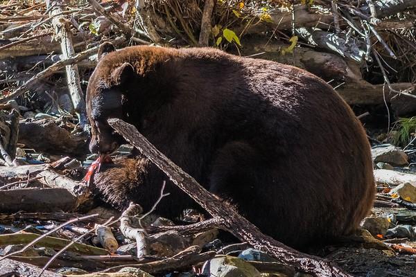 Black Bear devouring breakfast, Taylor Creek, Lake Tahoe, CA