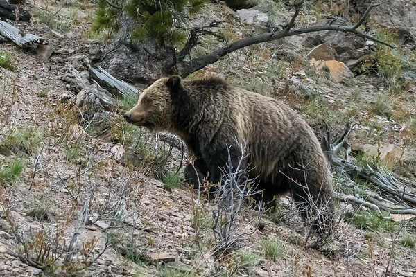 Undentified Sow in Yellowstone National Park