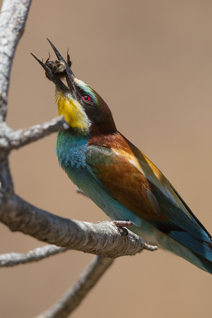 Bee-eater-7885