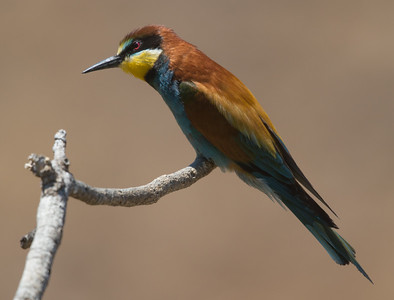 Bee-eater-8140