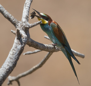 Bee-eater-7879