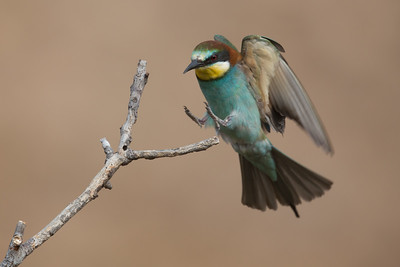 Bee-eater-8649