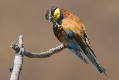 Bee-eater-8164