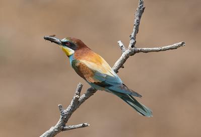 Bee-eater-6881