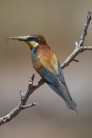 Bee-eater-7780