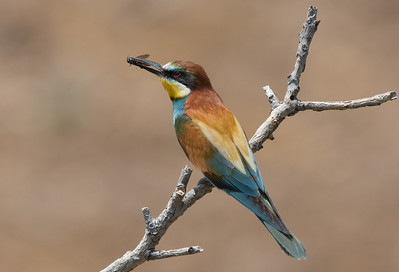 Bee-eater-6960