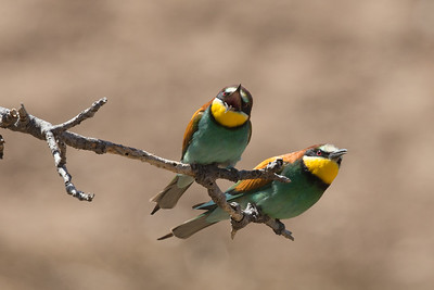 Bee-eater-1925
