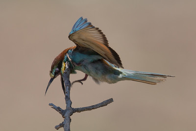 Bee-eater-7091