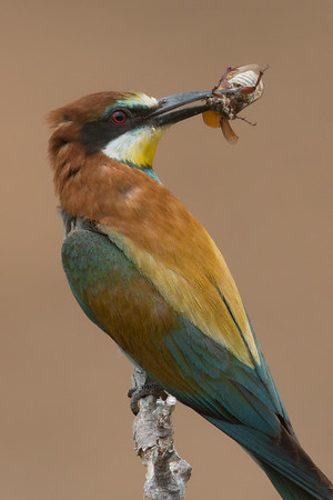 Bee-eater-9676