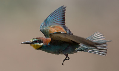 Bee-eater-7097