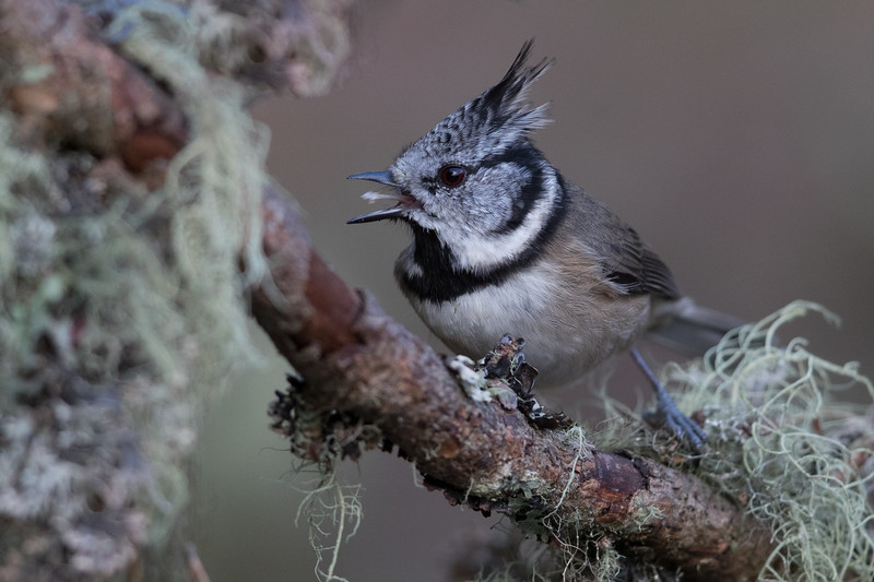 Crested Tit-4763