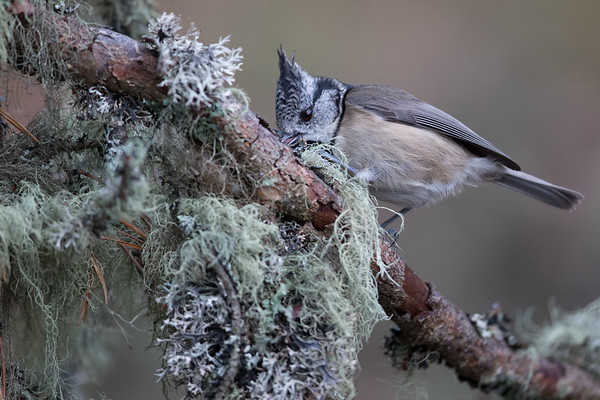 Crested Tit-4600