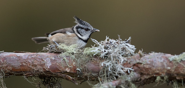 Crested Tit-4654