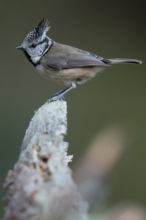 Crested Tit-4534