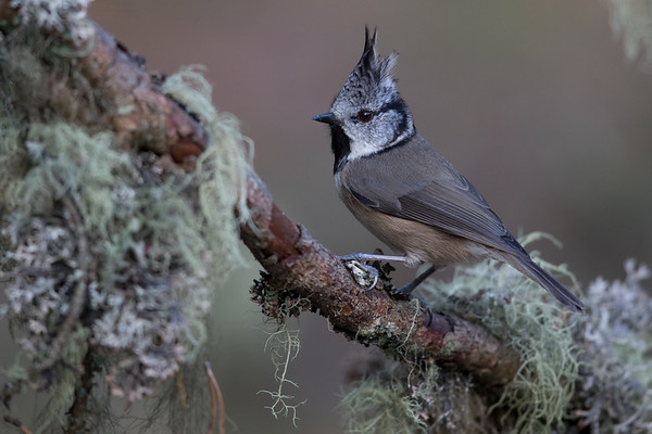 Crested Tit-4794