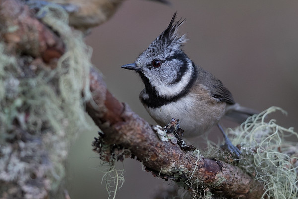 Crested Tit-4764