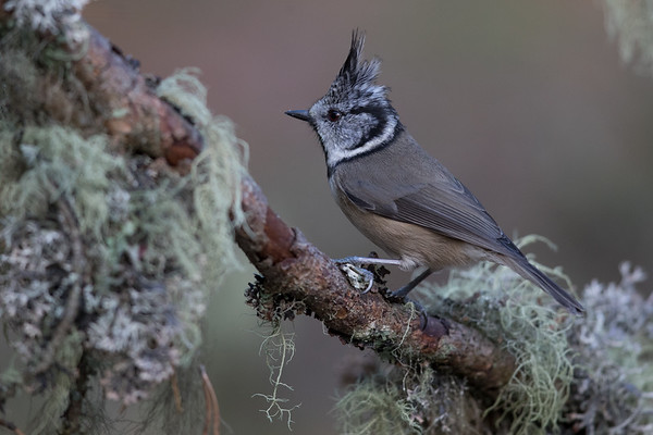 Crested Tit-4800