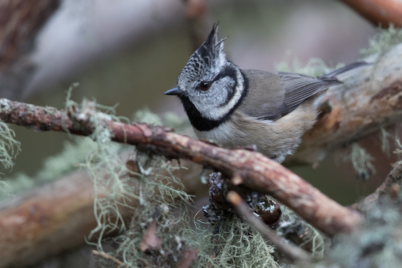 Crested Tit-4557