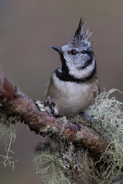 Crested Tit-4741