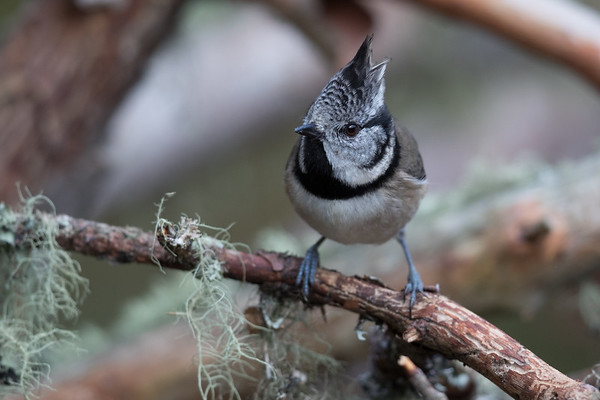 Crested Tit-4576