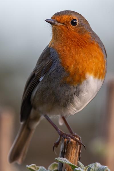 Robin-7780