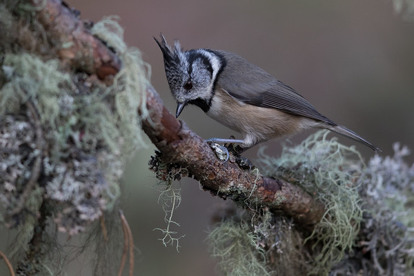 Crested Tit-4788