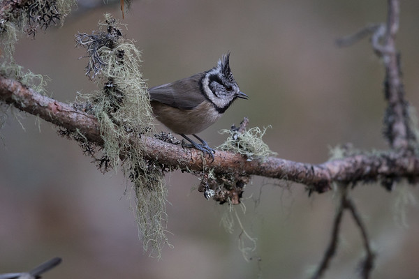 Crested Tit-4997