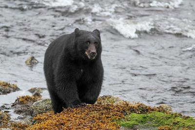 Black Bear-8625